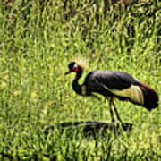 West African Crowned Crane Poster