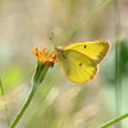 Wester Sulfur Butterfly Poster