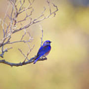 Western Bluebird On Bare Branch Poster