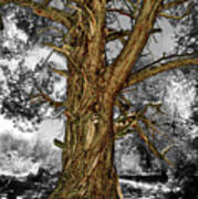 Western Cedar Of The Sbnf Poster