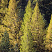 Western Larch Poster