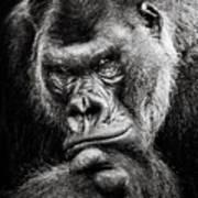 Western Lowland Gorilla Bw II Poster