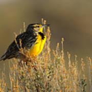 Western Meadowlark At Dawn Poster