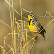 Western Meadowlark Calling For Mate Poster