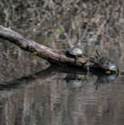 Western Painted Turtles On A Log Poster