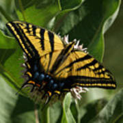 Western Tiger Swallowtail 2 Poster