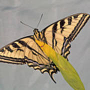 Western Tiger Swallowtail Poster