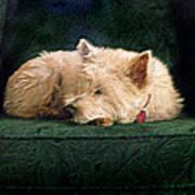 Westie Nap Poster