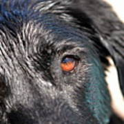 Wet Black Lab Poster