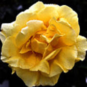 Wet Yellow Rose II Poster