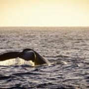 Whale Fluke Poster