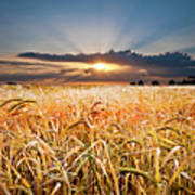 Wheat At Sunset Poster by Meirion Matthias