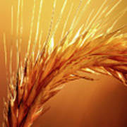 Wheat Close-up Poster