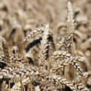 Wheat Close Up Summer Season Poster