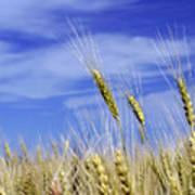 Wheat Trio Poster