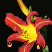 Whimsical Daylily Poster