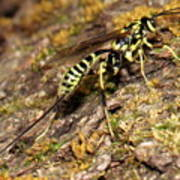 Whip Tailed Wasp Poster