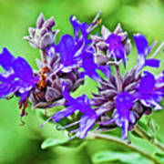 Whirly Bird Salvia In Rancho Santa Ana Botanic Garden In Claremont-california Poster