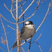 Whiskey Jack Perched On A Winter Larch  Poster