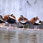 Whistling Ducks Grooming Poster
