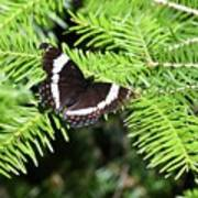 White Admiral On Tree Poster