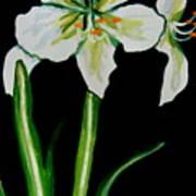White Amaryllis Poster