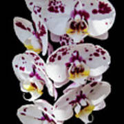 White And Magenta Orchids Poster