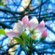White And Pink Apple Blossoms Against A Blue Sky Poster