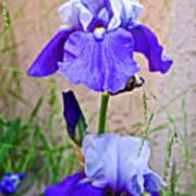 White And Purple Irises At Pilgrim Place In Claremont-california- Poster