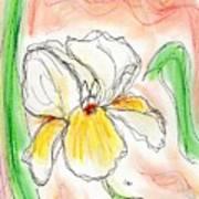 White And Yellow Iris Poster