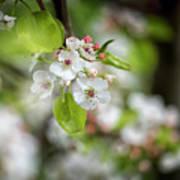White Apple Flowers Poster