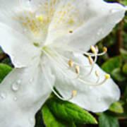 White Azalea Flower 9 Azaleas Raindrops Spring Art Prints Baslee Troutman Poster