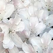 White Azaleas 1 Poster