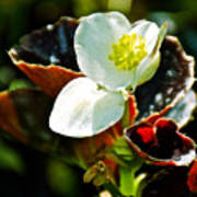 White Begonia At Pilgrim Place In Claremont-california  Poster