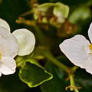 White Begonias At Pilgrim Place In Claremont-california Poster