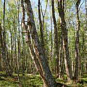 White Birch Forest Poster