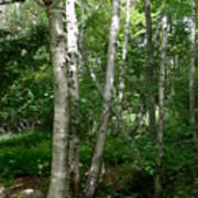 White Birch Tree Poster