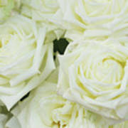 White Blooming Roses Poster