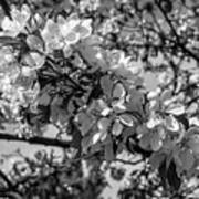 White Blossoms In Black And White Poster