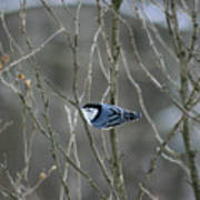 White Breasted Nuthatch 3 Poster
