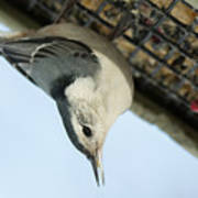 White Breasted Nuthatch At The Suet Feeder Poster