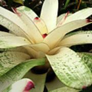 White Bromeliad Poster