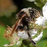 White Bumblebee Poster