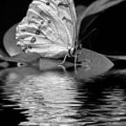 White Butterfly Bw Poster