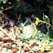White Butterfly On Goldenseal Poster