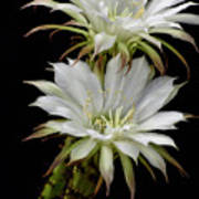 White Cactus Flowers Poster