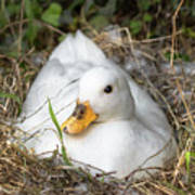White Call Duck Sitting On Eggs In Her Nest Poster
