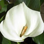White Calla Lily Poster