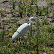 White Cattle Egret Poster