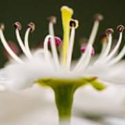 White Cherry Blossom Against Green Poster
